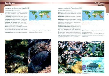 Sample pages of Common Reef Fishes of North Sulawesi, Indonesia (ISBN:9787030474452)
