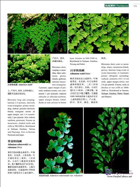 Sample pages of Higher Plants of China in Colour Vol II PTERIDOPHYTA (ISBN:9787030470638)
