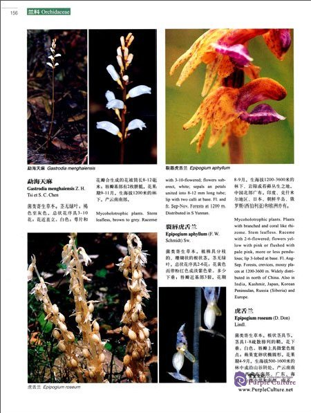 Sample pages of Higher Plants of China in Colour Vol IX Angiosperms Taccaceae-Orchidaceae (ISBN:9787030470690)